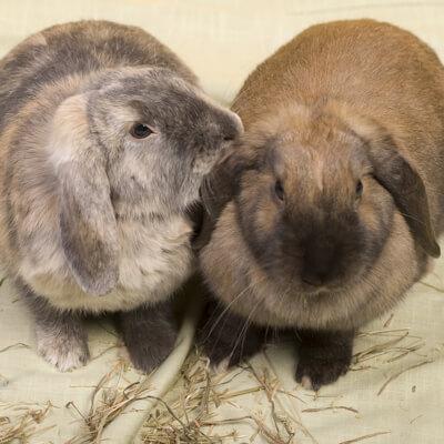 owning a rabbit – Bishops Stortford Vets