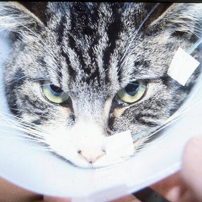 Liver Problems In Your Cat Bishops Stortford Vets