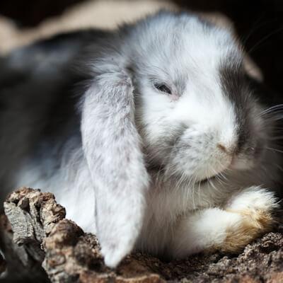 bệnh đường hô hấp thường gặp ở thỏ